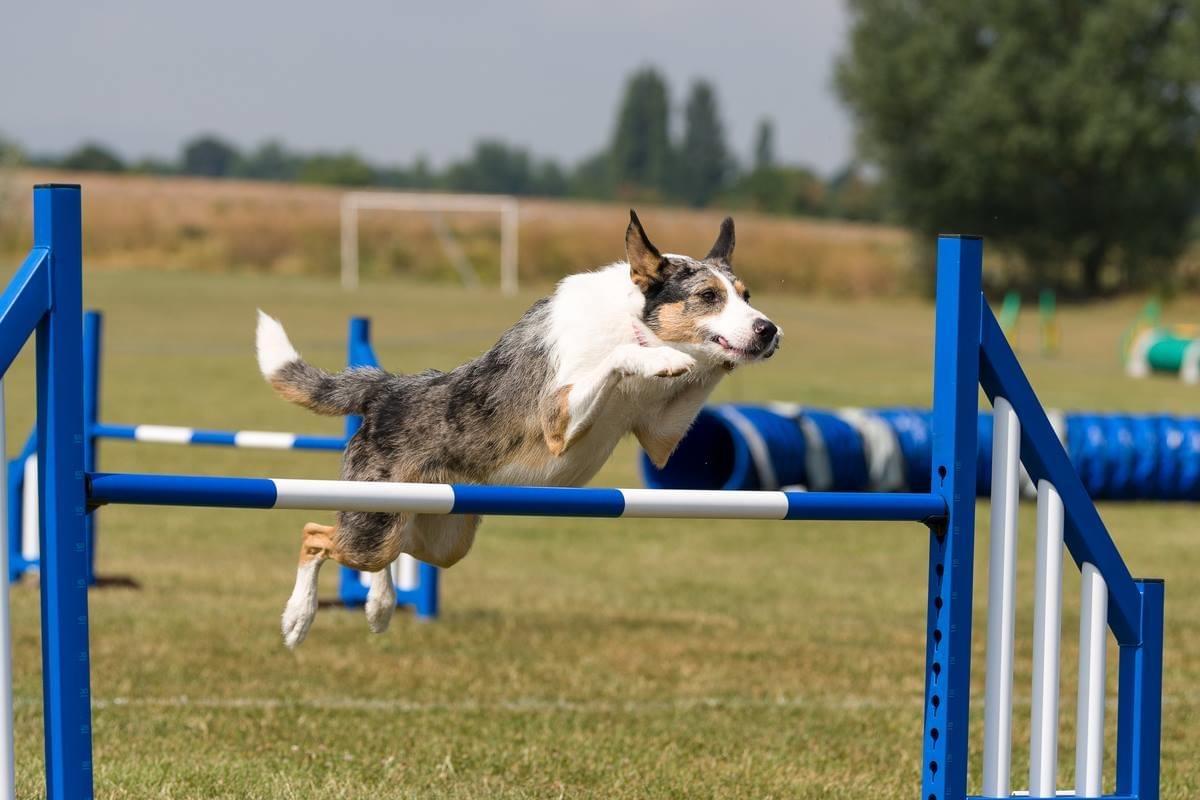 Agility Dog Jump